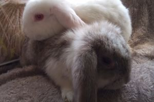 French Lops for Rehoming