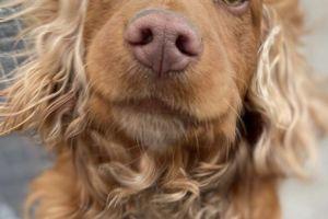 Cocker Spaniel Advertisement UK Pets