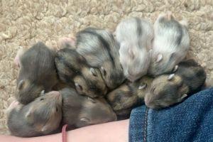 Hamster For Sale in Lodon