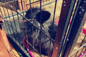 Mini Lion Lop For Sale in the UK