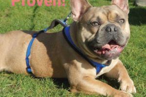 French Bulldog For Stud in Lodon