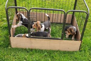 Beagles for Rehoming