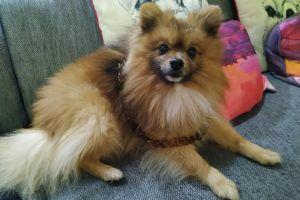 Pomeranian Online Listings