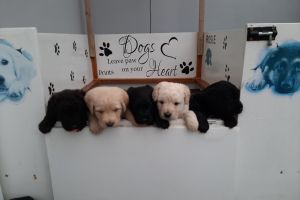 Labradoodle Dogs Breed
