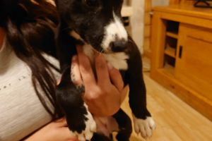 Lurchers for Rehoming