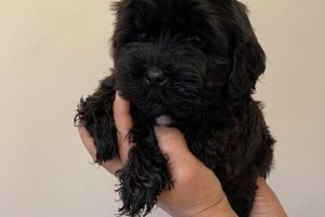 Shih-poo For Sale in Great Britain