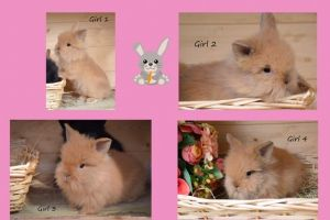 Lionhead For Sale in Great Britain