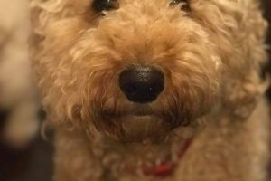 Goldendoodle for Rehoming