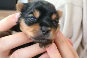 Yorkshire Terrier Dogs Breed