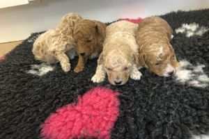 Poochon For Sale in the UK