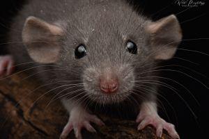 Rat Online Listings