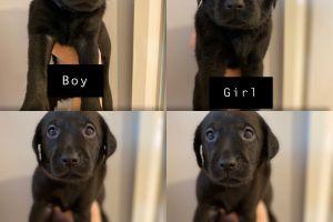 Labrador Retriever For Sale in the UK