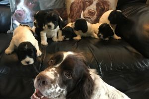 Cute Clumber Spaniel For Sale