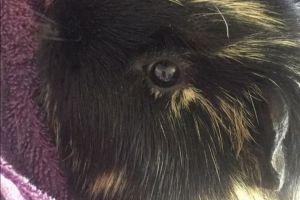 Guinea Pig Advertisement UK Pets