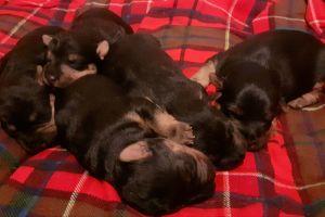 Lakeland Terrier Dogs Breed