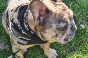 French Bulldog For Stud in the UK