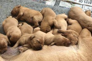 Available Labrador Retrievers