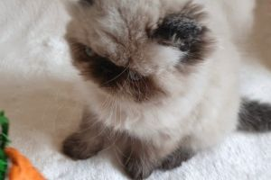 Available Himalayans