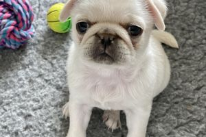 Available Pugs