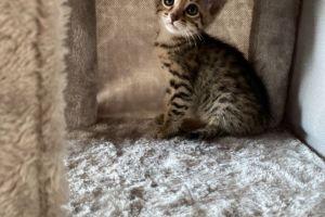 Savannah Cat Cats Breed
