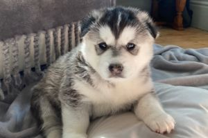 Siberian Husky Dogs Breed