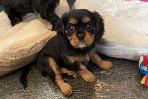 Cute Cavalier King Charles Spaniel For Sale