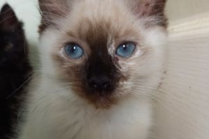 Ragdoll For Sale in Great Britain