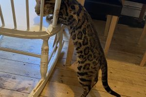 Bengal For Stud in the UK