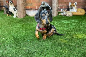 Miniature Dachshund For Sale in Lodon