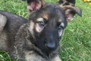 German Shepherd For Sale in Lodon