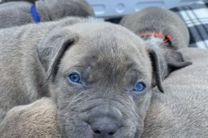 American Bullies for Rehoming