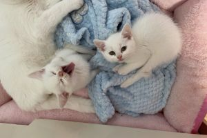 Available Persians