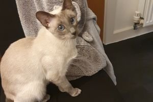 Tonkinese For Sale in Lodon