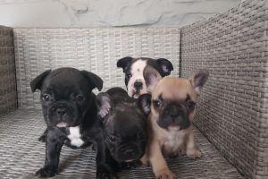 French Bulldog Online Ad