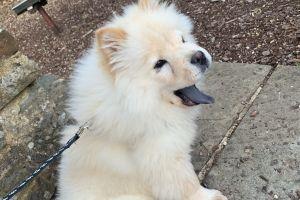 Chow Chows for Rehoming