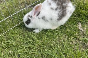 Mini Lion Lops for Rehoming