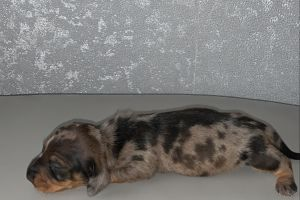 Miniature Dachshund For Sale
