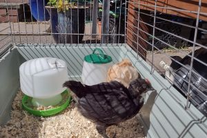 Chicken Poultry Breed