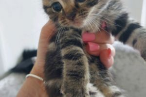 Toyger For Sale in the UK