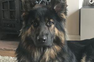 Cute German Shepherd For Stud