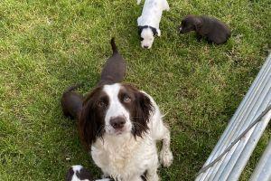 Sprocker Advertisement UK Pets