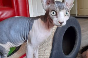 Sphynxes for Rehoming