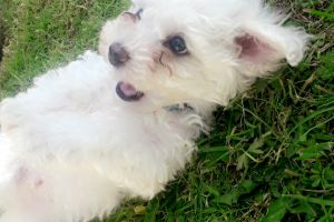 Bichon Frise For Sale in the UK
