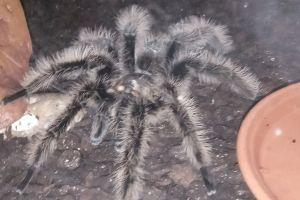 Tarantulas for Rehoming