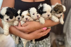 Available Shih-poos