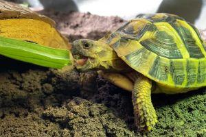 Hermann Tortoise Advertisement UK Pets