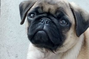 Pug For Sale in Great Britain