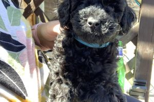 Toy Poodle For Sale in the UK