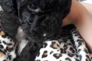 Toy Poodle Dogs Breed