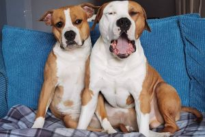 American Staffordshire terrier For Sale in Lodon